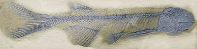Fossil Fish, Sem Art Print by Steve Gschmeissner