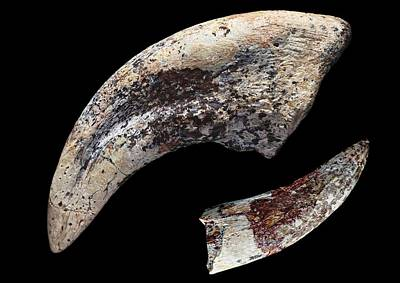 Tarbosaurus Photograph - Fossilised Dinosaur Claw And Tooth by Dirk Wiersma