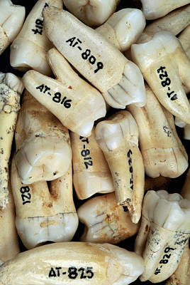 Evolution Of Humanity Photograph - Fossilised Teeth, Sima De Los Huesos by Javier Truebamsf