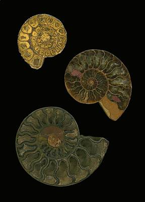 Fossilized Sea And Marine Shells Or Art Print