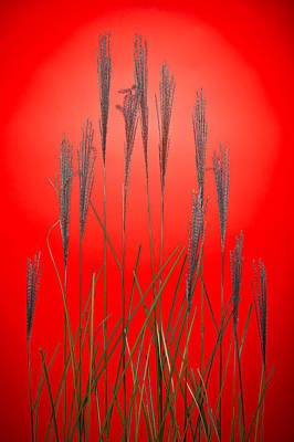 Fountain Grass In Red Original
