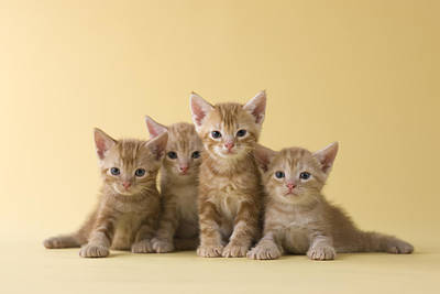 Y120817 Photograph - Four American Shorthair Kittens by Mixa