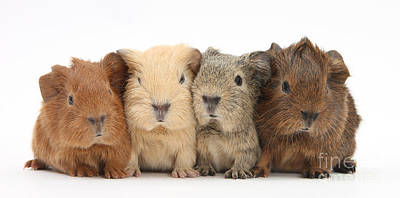 Cavy Photograph - Four Baby Guinea Pigs by Mark Taylor