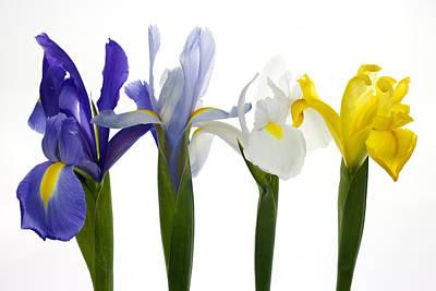 Four Iris Original by Brad Rickerby