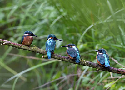 In A Row Photograph - Four Kingfishers On Branch by Produced by Oliver C Wright
