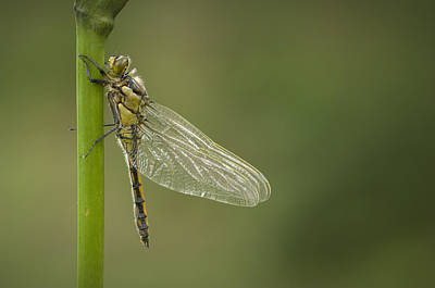 Four Spotted Chaser Art Print by Andy Astbury