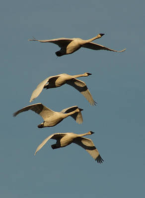 Photograph - Four Swans by Cathie Douglas
