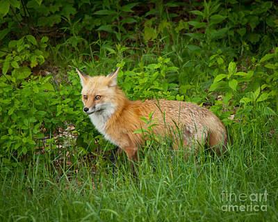 Photograph - Fox by Alana Ranney