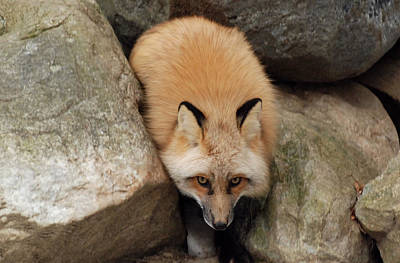Photograph - Fox From The Rocks by Richard Bryce and Family