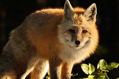 Fox In The Light Art Print by Warren Marshall