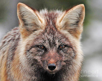 Photograph - Fox Portrait by Jack Moskovita