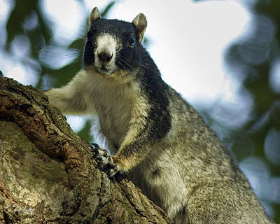 Fox Squirrel Art Print by Phill Doherty