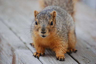 Photograph - Fox Squirrel by Randy J Heath