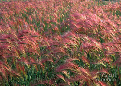 Art Print featuring the photograph Foxtail Barley by Doug Herr
