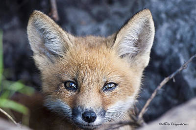 Photograph - Foxy Cute by Mike Fitzgerald