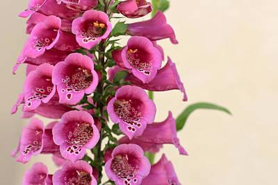 Foxglove Flowers Photograph - Foxy by Heidi Smith