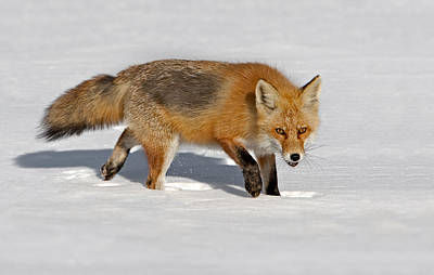 Photograph - Foxy Lady by Susan Candelario