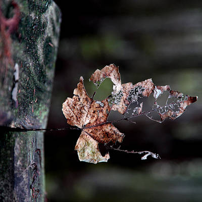 Photograph - Fractured Leaf  by Joseph G Holland