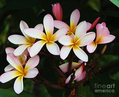 Photograph - Fragrant Frangipani by Michele Penner