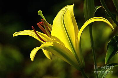 Photograph - Fragrant Yellow Lily by Byron Varvarigos