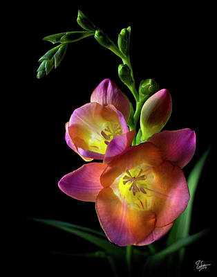 Photograph - Freesia by Endre Balogh