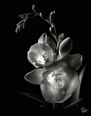 Photograph - Freesia In Black And White by Endre Balogh
