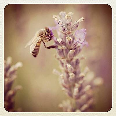 Lavender Photograph - French Bee by Cathy Crawley