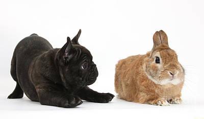 Brindle Photograph - French Bulldog Pup And Rabbit by Mark Taylor