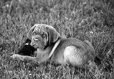Photograph - French Mastiff by Kay Novy
