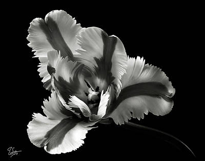 French Tulip In Black And White Art Print