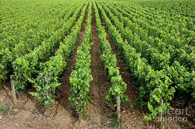 Winemaking Photograph - French Vineyard by Bernard Jaubert