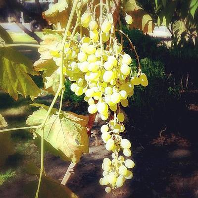 Woodland Wall Art - Photograph - Fresh Green Grapes From My Friends by Sarah Long