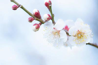 Photograph - Fresh Plum by Yuji Takahashi