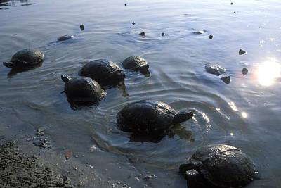 Fresh Water Turtles At Print by Stephen Alvarez