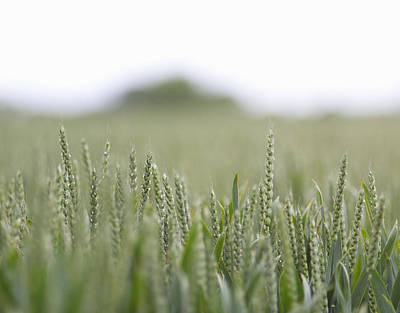 Close Focus Nature Scene Photograph - Fresh Wheat Field In Countryside by Dougal Waters