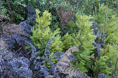 Photograph - Fresh Young Redwoods On Mt Tamalpais by Ben Upham III