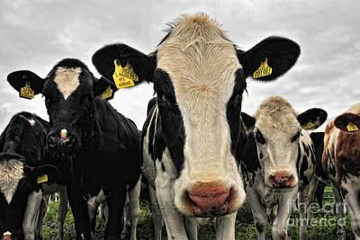 Fresian Cows Art Print by Jason Connolly