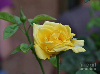 Photograph - Friday Night Rose by Carol  Bradley