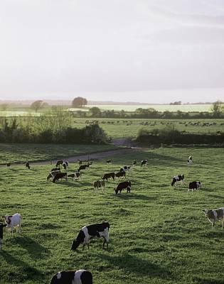 Friesian Bullocks, Ireland Herd Of Art Print by The Irish Image Collection