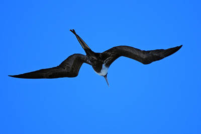 Photograph - Frigate Bird In Flight by Harvey Barrison