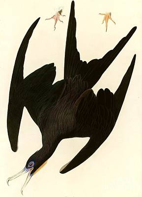 Albatross Painting - Frigate Bird by Pg Reproductions