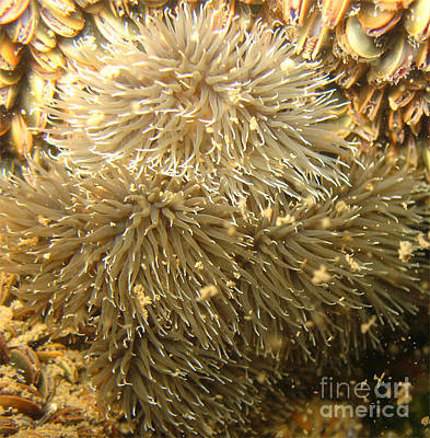 Frilled Sea Anemone Print by Paul Ward