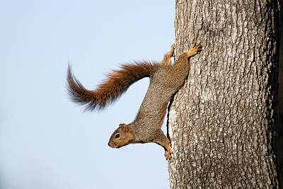 Red-tailed Squirrel Photograph - Frisky Little Squirrel With A Twirly Tail by Bonnie Barry