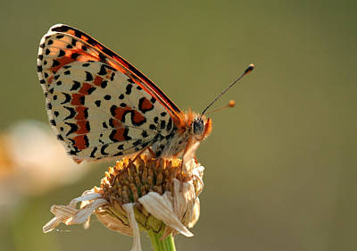 Natuur Photograph - Fritillary by Marc Bulte