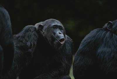 Frodo Hoots After Hearing Other Chimps Art Print
