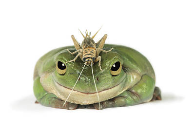 Frog And Grasshopper Art Print by Darwin Wiggett