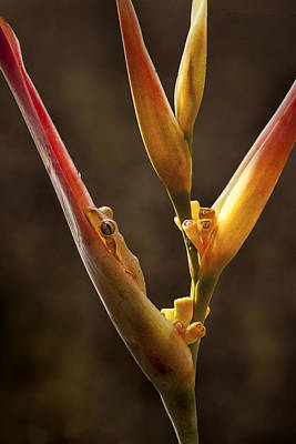 Photograph - Frog And Heliconia by Steven Sparks