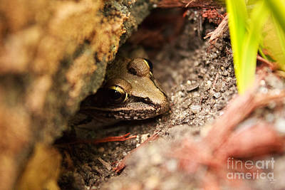 Photograph - Frog Hide Out by Ms Judi