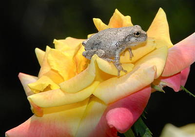 Frog Meets Rose Art Print by Kathy Gibbons