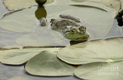 Photograph - Frog On Lily Pads  by Jeannette Hunt